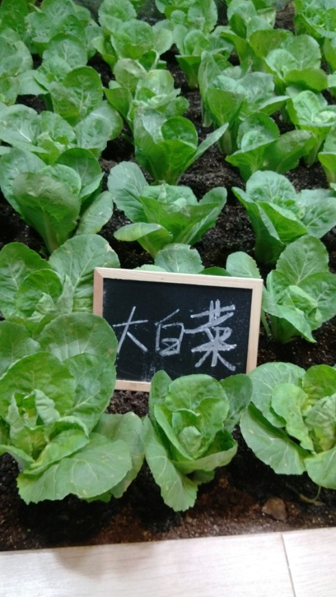 Cabbage - the great green veggie