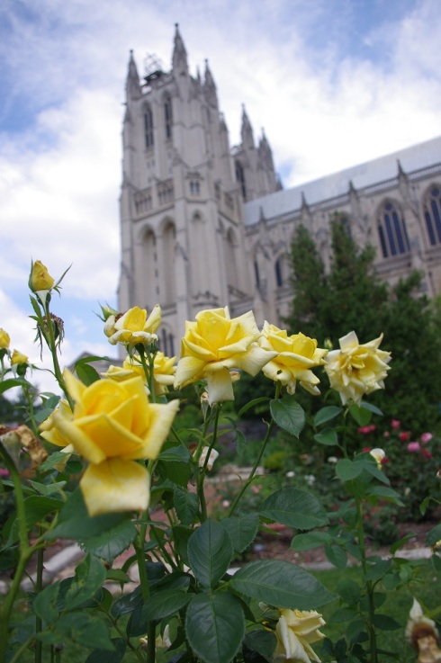 Peace roses blooming in the gardens below the Cathedral