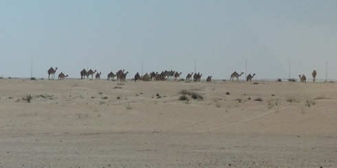 The real deal - an entire pack of camels!
